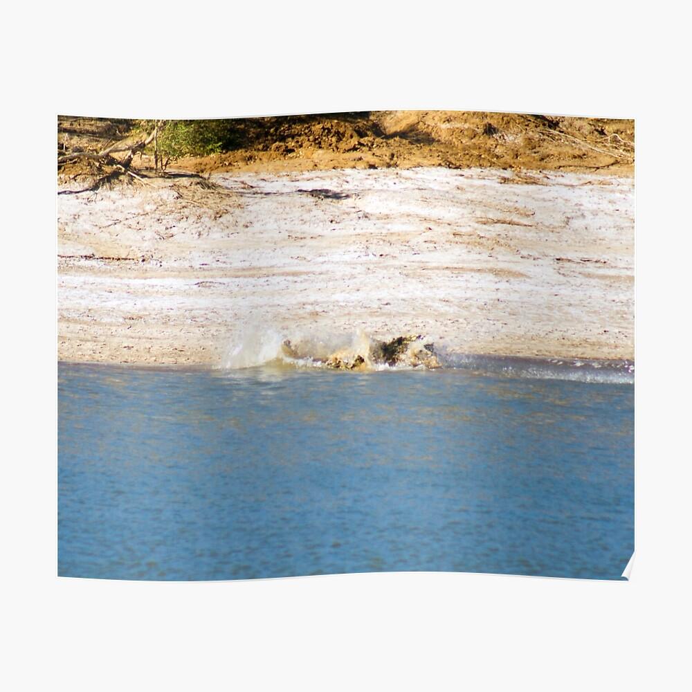 Saltwater Crocodile Eating 6/6 Poster