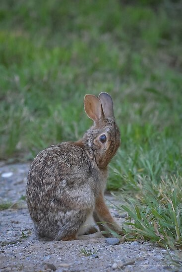 Sylvilagus Floridanus - Eastern Cottontail Rabbit | Noyack, New York by © Sophie W. Smith
