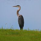 Standing Tall - Great Blue Heron by Tony Wilder