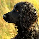 Cocker spaniel portrait by Alan Mattison