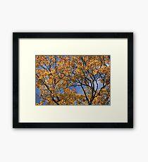 maple leaves in autumn Framed Print