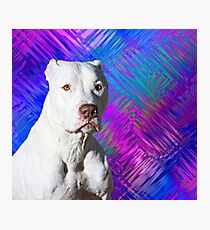 White American Pit Bull Terrier Dog Photographic Print