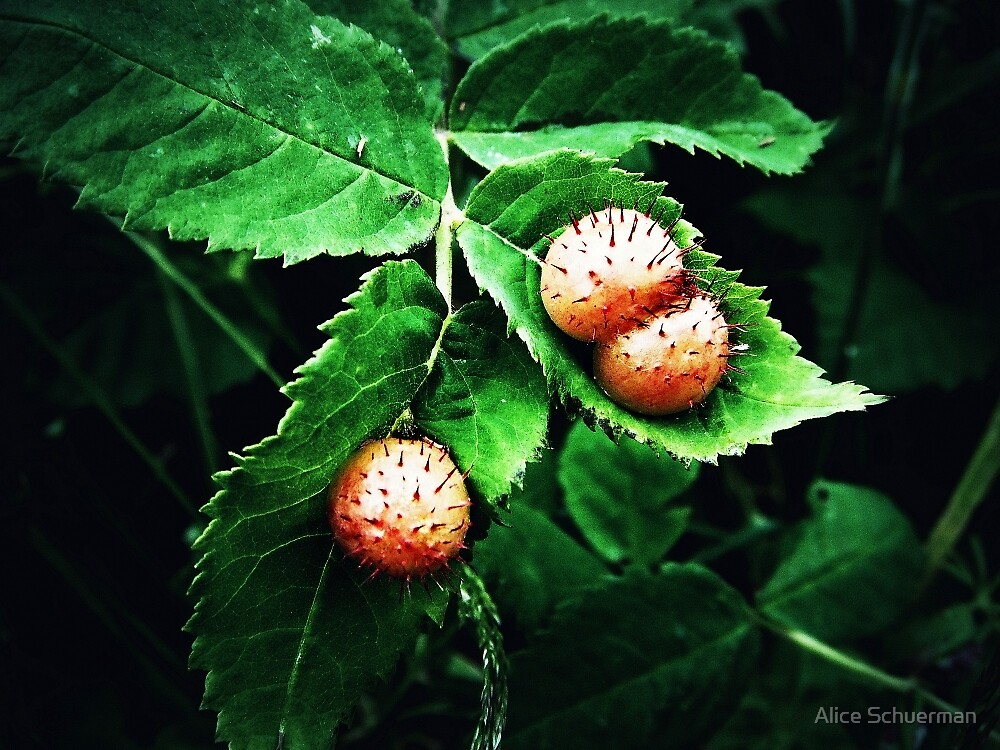 Spiny Rose Galls by Alice Schuerman