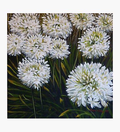 White agapanthus Photographic Print