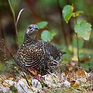 Spruce grouse in Algonquin Park by Jim Cumming