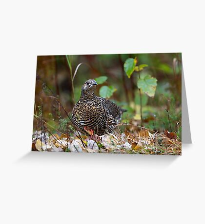 Spruce grouse in Algonquin Park Greeting Card