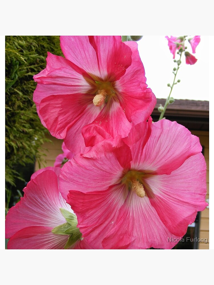PINK HOLLYHOCK FLOWER BLOSSOMS by nicolafurlong