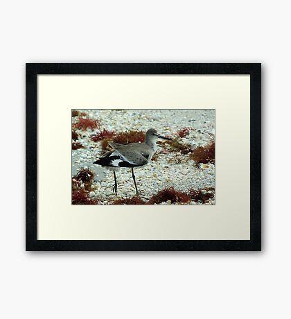 Willet Framed Print
