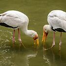 Yellow Billed Storks by Werner Padarin