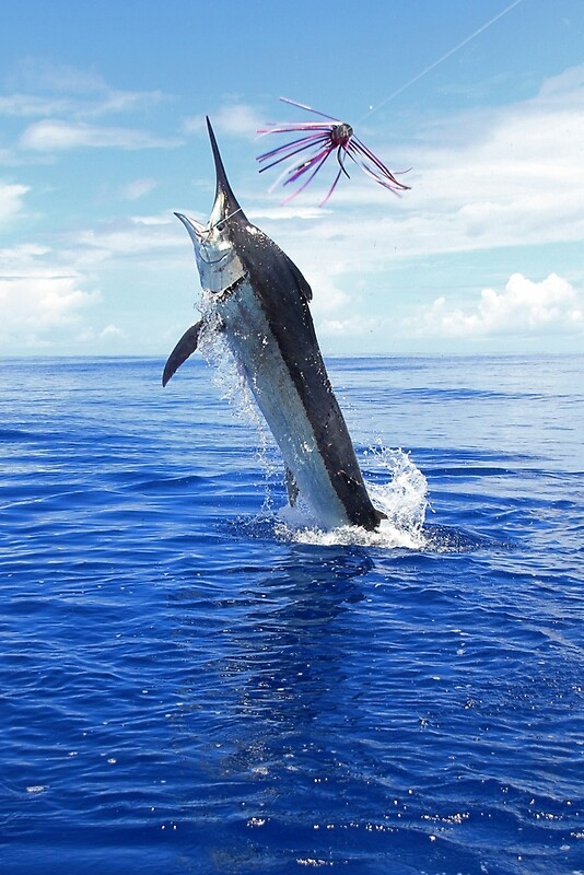 """Marlin Canvas or Print - Giant Black Marlin"" Posters by ..."