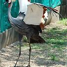 ALMOST THERE - CROWNED CRANE (GREY) - Balearica regulorum by Magriet Meintjes