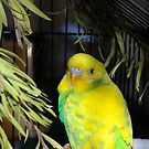 Ben the Budgie by W E NIXON  PHOTOGRAPHY