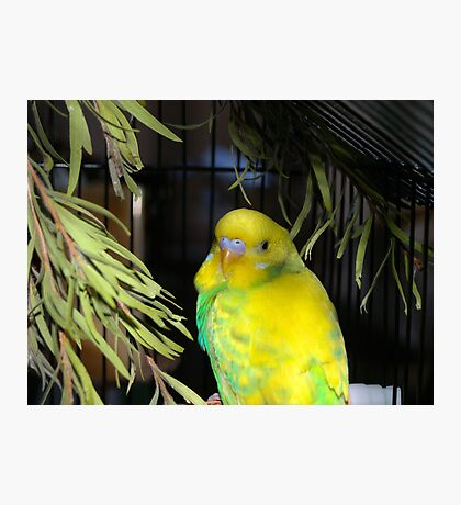 Ben the Budgie Photographic Print