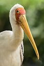 Yellow Billed Stork by Werner Padarin