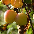 Apple Pickin' Time by Martha Medford
