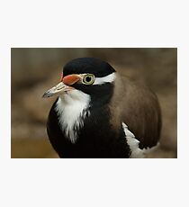 Banded Lapwing Photographic Print