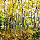 Colorado Backcountry Forest by Bo Insogna