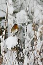 Robin red breast winter design for Christmas  by Sandra O'Connor