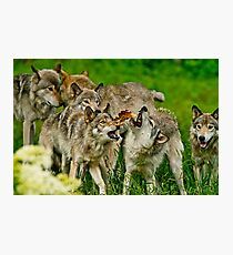 Timber Wolves at Play Photographic Print