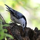 White-breasted nuthatch by Linda Crockett