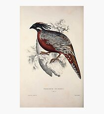 John Gould A Century of Birds from the Himalaya Mountains 1831 067 Phasianus Pucrasia Photographic Print