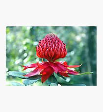 The Mighty Waratah Photographic Print