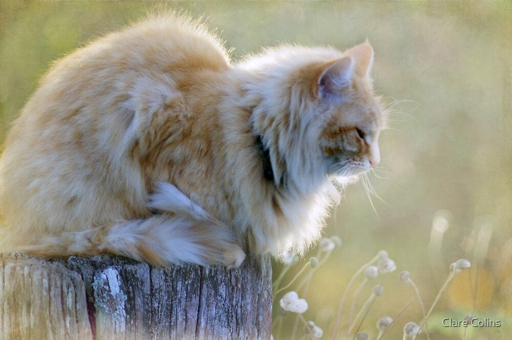 Maine Coon by Clare Colins