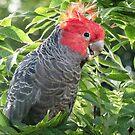 Gang-gang Cockatoo by Deirdreb