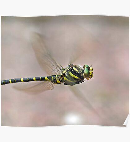 Golden-ringed Dragonfly Poster