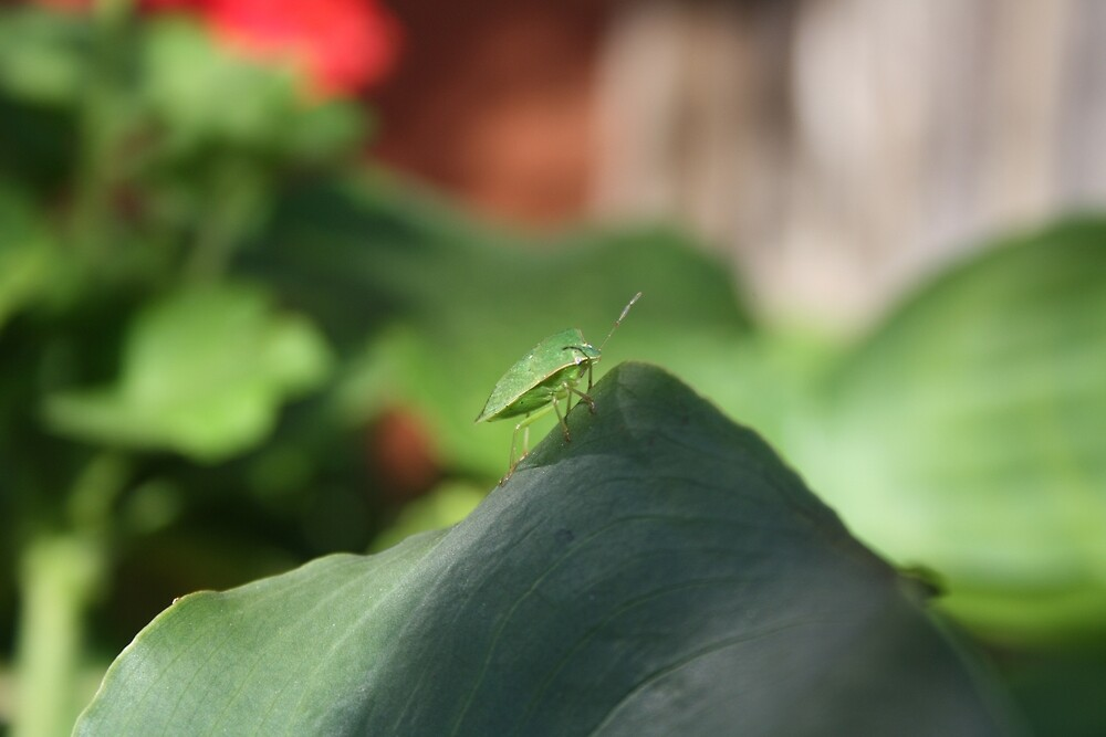 Green Potato Bug by Jaime Cifuentes