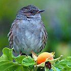 Small Dunnock on he Rose Hips....Lyme Dorset UK by lynn carter