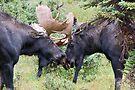 Locking Antlers by Eivor Kuchta