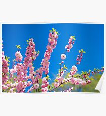 Beautiful pink cherry blossoms on a blue background. Sakura Poster