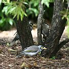 Noisy Miners  by FaithAmor