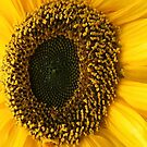 SUNFLOWER SEEDS AND PETALS by Nicola Furlong