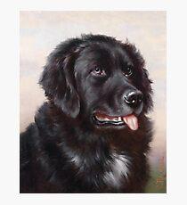 Newfoundland Dog Portrait Photographic Print