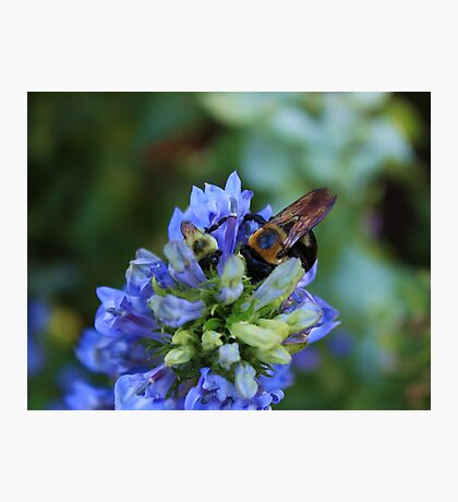Bee on the flower photography Photographic Print