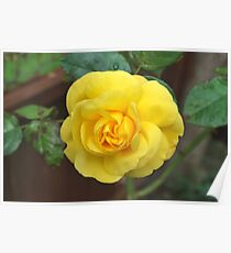 dads yellow rose Poster