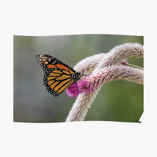 Close Up Of Monarch Butterfly Poster