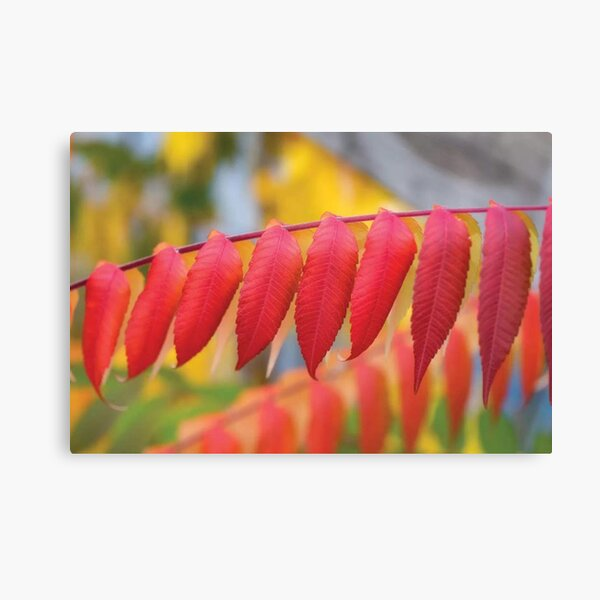 Red Leaves Of A Virginia Sumac Canvas Print