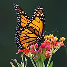 Pretty Monarch by jozi1