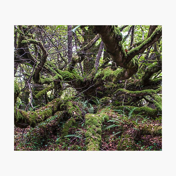 Mossy Tree Top Picture Photographic Print