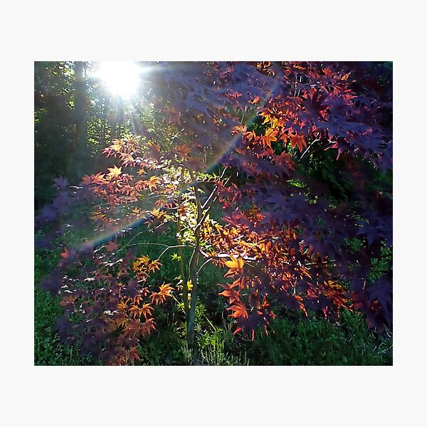 Sunrise Maple Garden Inspiration Moment Photographic Print
