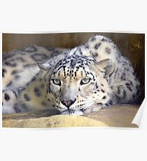 Sleepy Snow Leopard  Poster