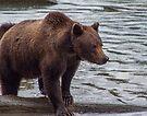 Grizzly [Ursus arctos horribilis] in the Rain by Yukondick