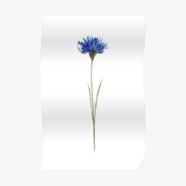 Cornflower Blue Botanical Illustration Watercolor Painting Drawing Poster Poster