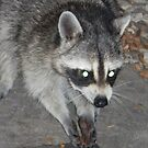 Raccoons Eat With Their Hands by Navigator