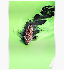 Beautiful Tiger in the Water Poster