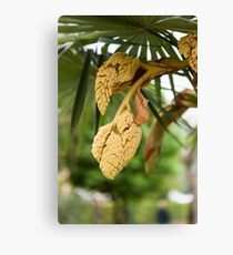 palm tree in bloom Canvas Print