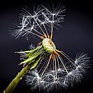 Dandelion Collection 1 by Normf